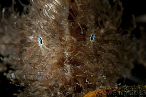Hairy Frogfish by Stew Smith 